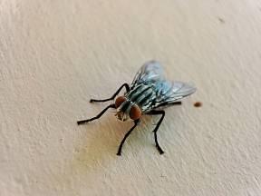 Moucha téměř přistižená při činu!