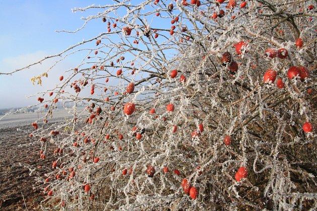 Šípkový keř zdobí zahradu i v zimě
