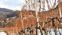 Vinohrad v zimě