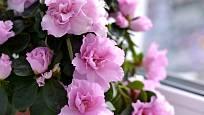 Květy pokojových azalek jsou vyšlechtěny do rozličných barev, často jsou plné a zkadeřené