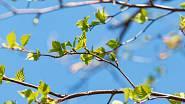 Mladé březové listí je léčivé, navíc je ho v přírodě hojnost