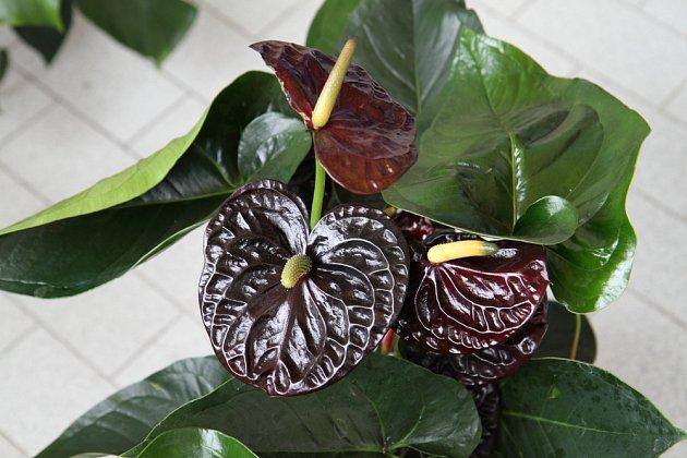 Karma černá – tuto květinu známe především s červenými květy