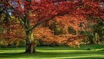 dub červený (Quercus rubra)