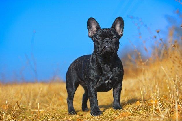 Francouzský buldoček je dobře stavěný pes.