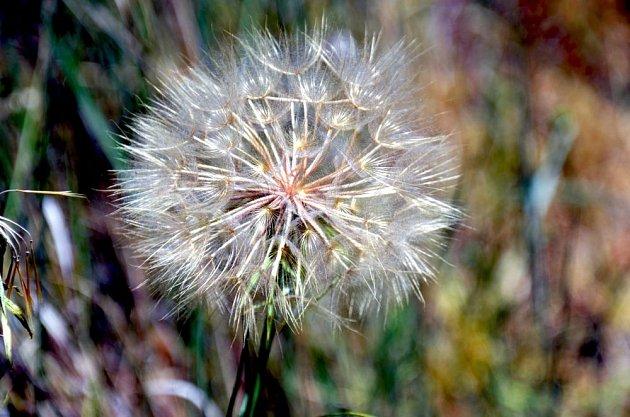 Zralá semena ovesného kořene připravená k ulétnutí