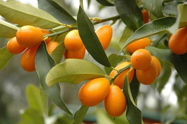 Plody kumkvátu na stromku