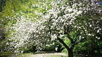 Kvetoucí jabloň je okouzlující