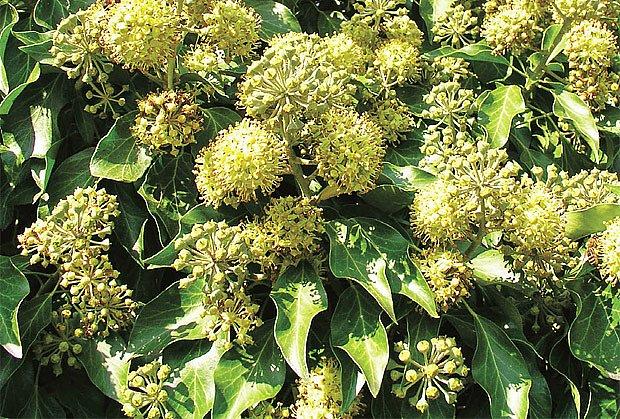 Kvetoucí břečťan obecný