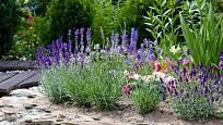 levandule - krásná, voňavá i užitečná vytrvalá bylinka