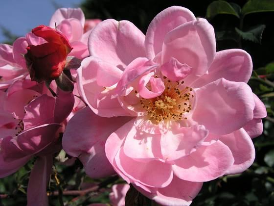 Sadová růže, odrůda Marchenland