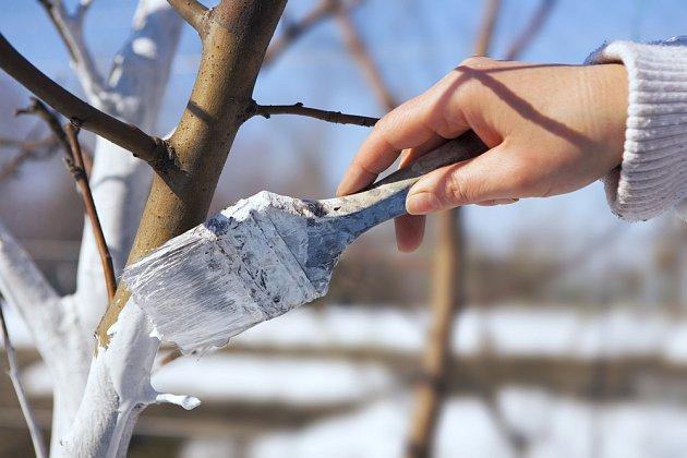 Bílá vápenná barva brání přehřívání kůry a jejímu praskání
