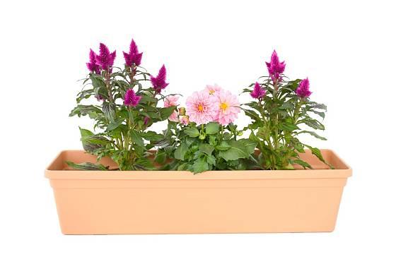 Purpurový nevadlec můžeme pěstovat i v truhlíku.