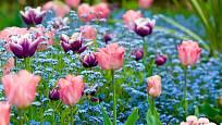Kombinace pomněnek a tulipánů je okouzlující