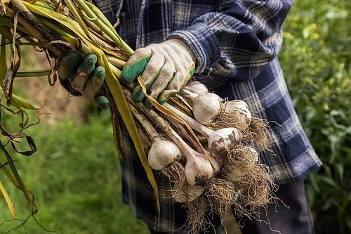 Česnek většinou dozrává 16 až 36 týdnů po výsadbě.
