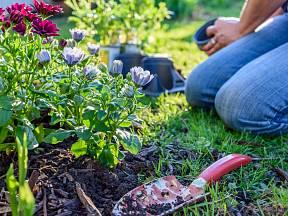 Některým druhům letniček prospěje zaštípnutí mladých rostlinek povýsadbě.