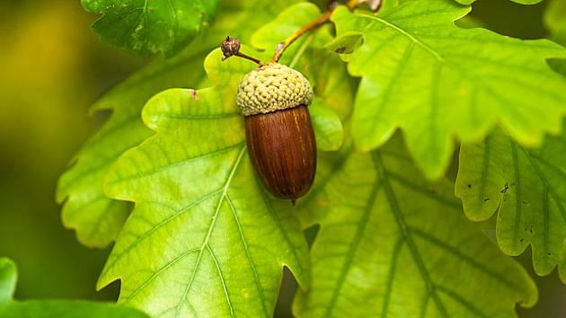 Mezi tradiční zdroje tříslovin patří dubová kůra