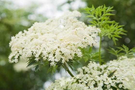 Kvetoucí bez černý (Sambucus nigra).