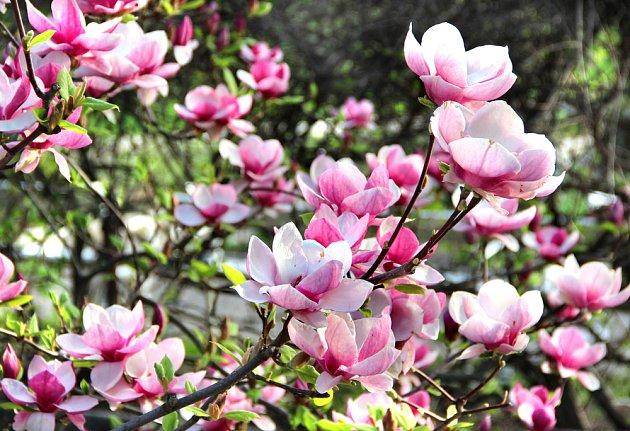 Ve vhodné půdě magnólie kvete spolehlivě a prospívá