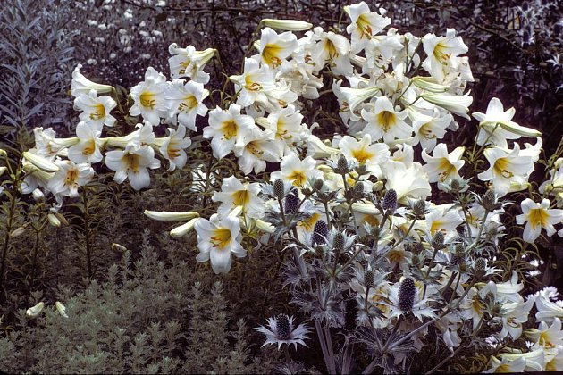 Lilie bělostná ve výsadbě suchomilných trvalek
