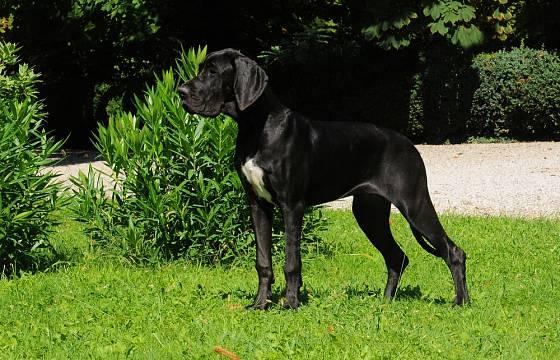 Dogy nejsou afektivní ani nervózní, často na člověka působí dojmem ušlechtilé sochy.