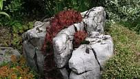 růže skalní čili netřesk