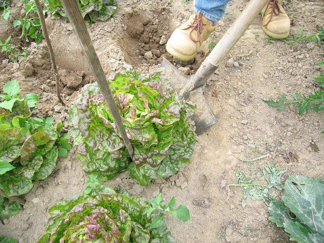 Přesazení salátu Ševča