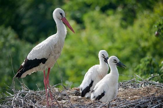 Čáp bílý a jeho mláďata na hnízdě