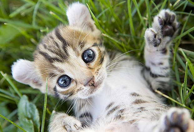 kotě plemene americká kadeřavá kočka