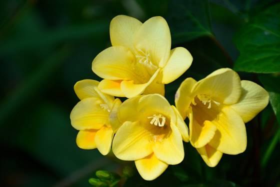 Tvar, barva i vůně květů frézií je velmi specifická.