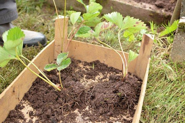Výsadba jahodníku z vlastních odnoží.