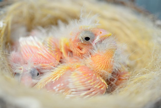 Ptáčata kanára na hnízdě