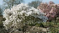 Magnolie bílá a růžová