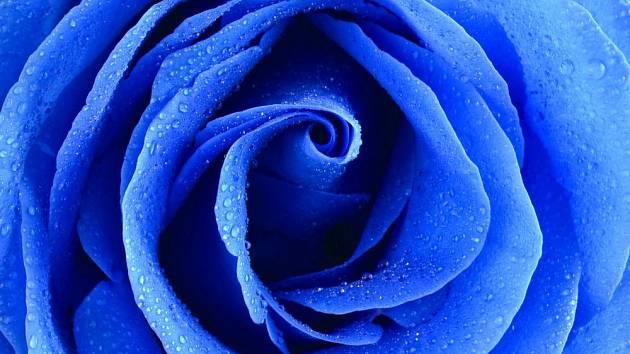 Sen o modré růži