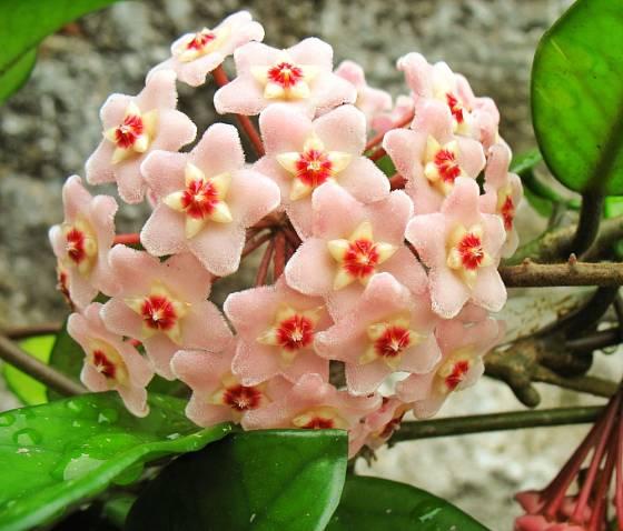 Voskovka masitá (Hoya carnosa)