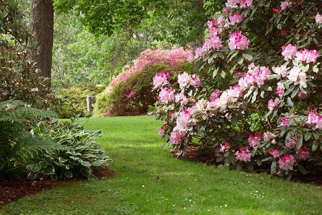 Jak prořezávat rododendrony - poradna Vlastimila Šindeláře