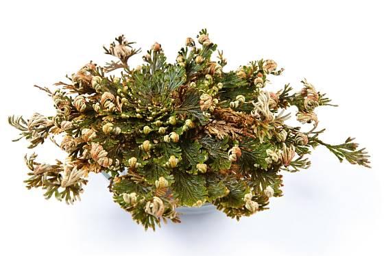 Rozvíjející se růže z Jericha (Selaginella lepidophylla)
