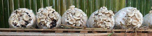 pěstování shiitake na pytlích se substrátem