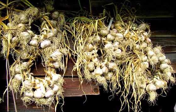 Zavěšené věnce různých rodinných sort česneků