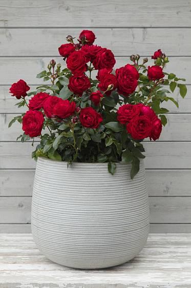 Mnohokvětá růže Till Eulenspiegel