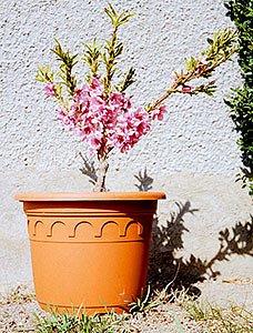 Zakrslá nektarinka Balkonela