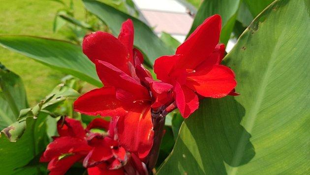 Sytě červené květy kany jsou nepřehlédnutelné.