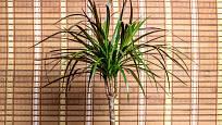 Dračinec vroubený (Dracaena marginata) zpočátku je jednokmenný, starší rostliny se rozvětvují.