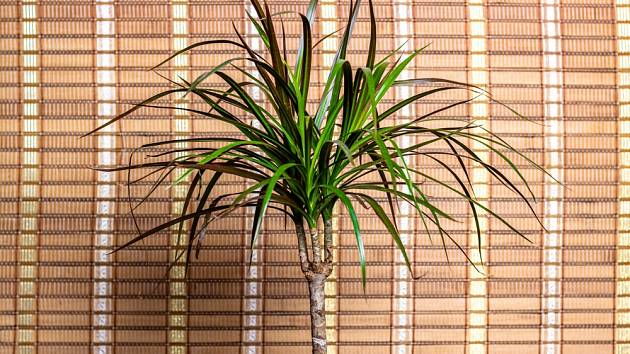 Dračinec vroubený (Dracaena marginata)