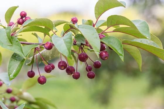 jabloň Halleova (Malus halliana)