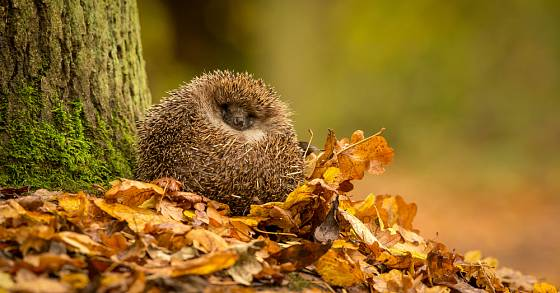 Na příliš uklizených zahradách nemají ježci kde přečkat zimu