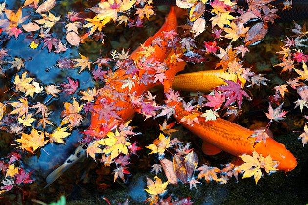 Karasi zvaní zlaté rybky se na podzim chystají k zimnímu odpočinku