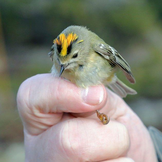 Králíček obecný je nejmenší evropský pták.