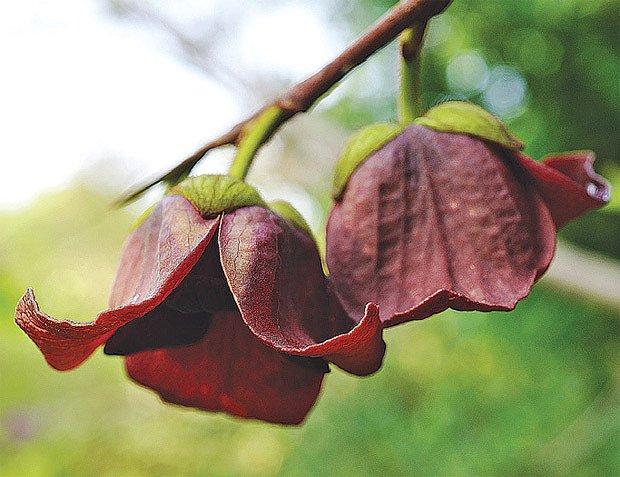 Muďoul zvaný pawpaw či banán severu krásně kvete