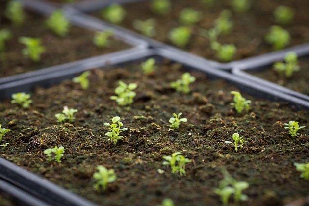 semenáčky lobelky drobné