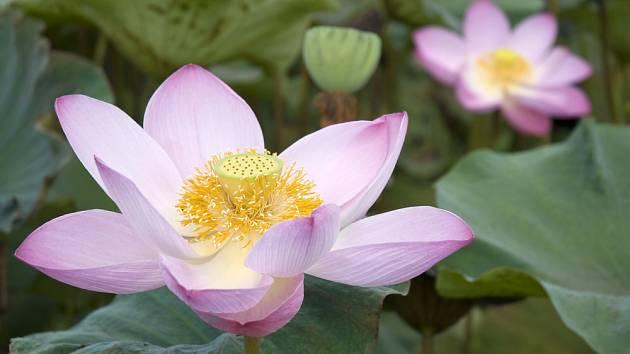 Lotosový květ.